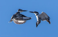 Pied Kingfishers - Birds In Flight Photography Cape Town with Canon EOS 7D Mark II Copyright Vernon Chalmers