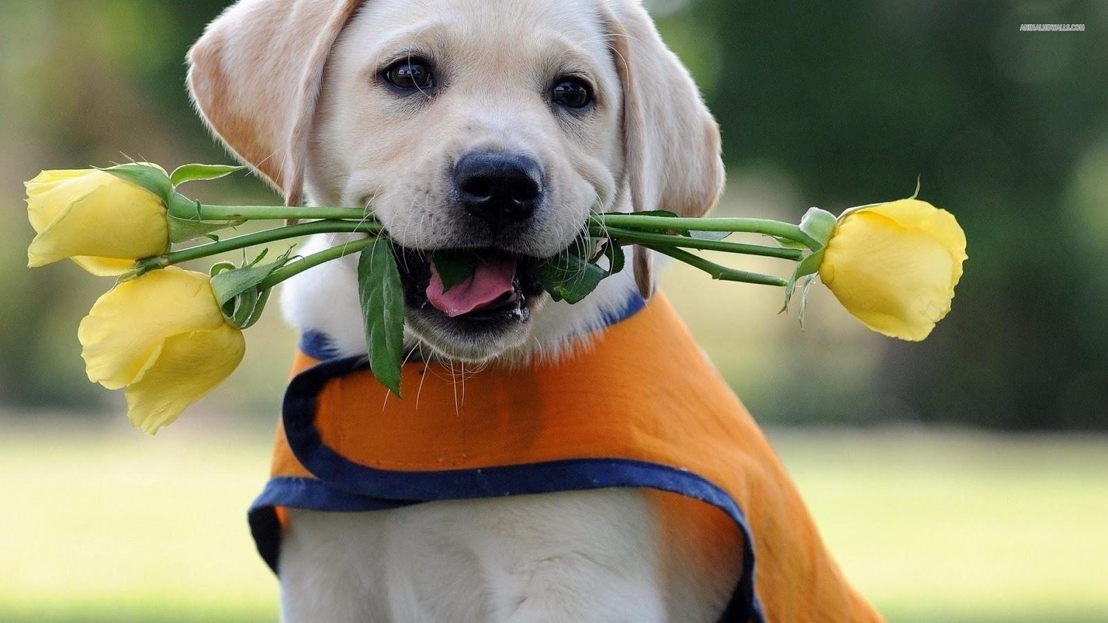 Cute Puppy Dogs: labrador retriever puppies