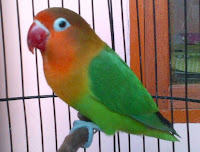 Mengatasi Burung Love Bird Berlemak