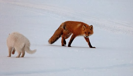 cat chasing a fox