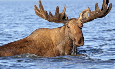 Siberian moose found to share DNA with exctinct relative