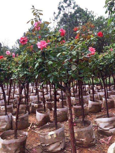 Nội, ngoại thất: Tree Rose- Hoa Hồng đẹp cho 1 diện tích khiêm tốn. Cay-hoa-hong-than-go_cao1.6m__3__grande