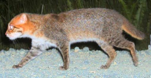 Gato-de-Cabeça-Chata (Prionailurus planiceps)