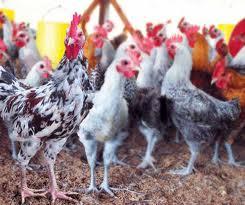 Panduan praktis cara ternak ayam kampung pedaging