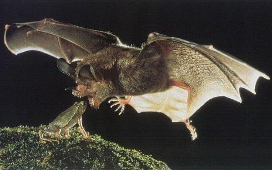 bat eating frog