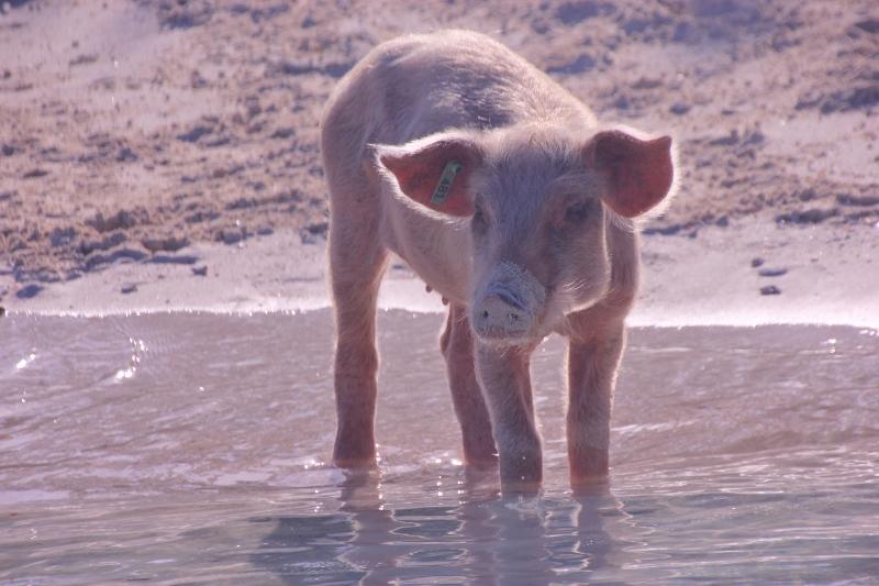 The Cynical Sailor & His Salty Sidekick: Here Piggy, Piggy