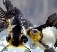 ikan Koki Black Moor
