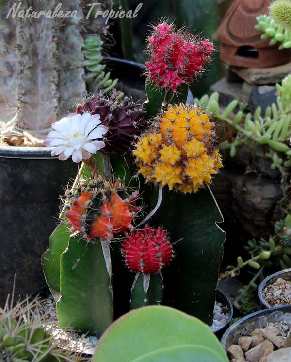 Variedad de cactus injertados