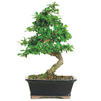 fukien bonsai tree care