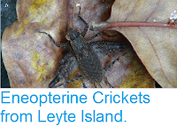 http://sciencythoughts.blogspot.co.uk/2015/08/eneopterine-crickets-from-leyte-island.html