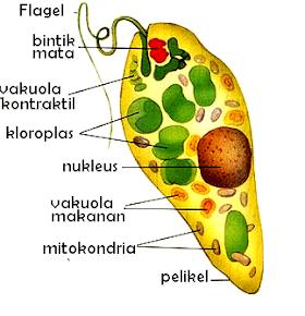 Pengertian, Ciri-ciri, Klasifikasi, dan Struktur Flagellata
