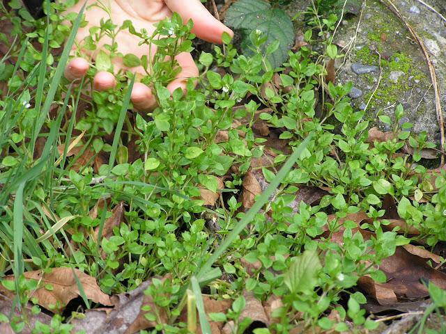chickweed edible weeds