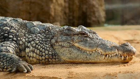 Nile Crocodile 4K