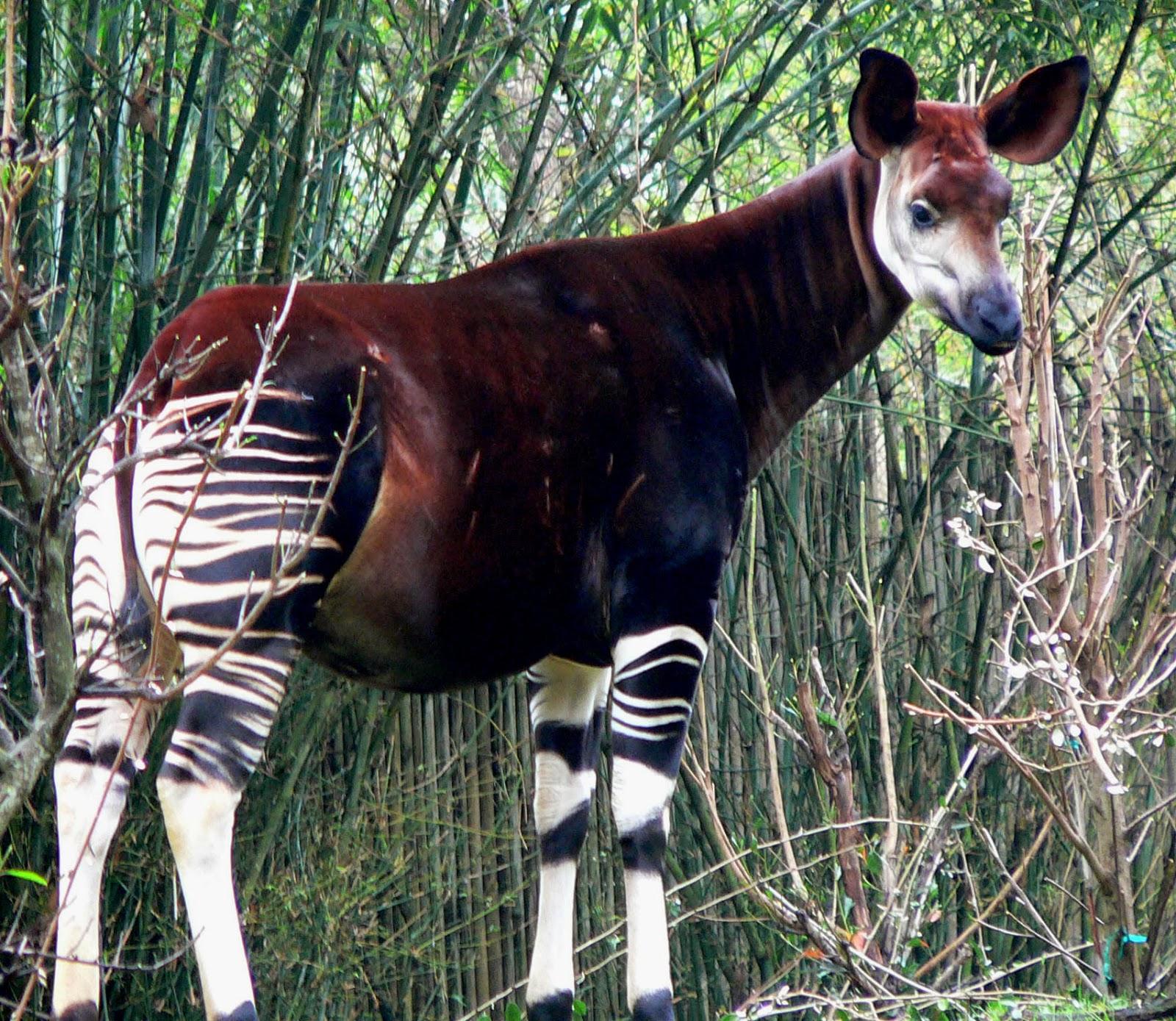 Ocapis (Okapia johnstoni)