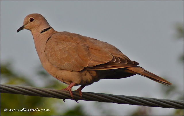Eurasian Collared Dove, Collared Dove