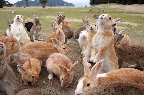 Menelusuri Jejak Pulau Kelinci di Jepang