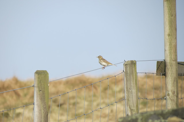 A meadow pipit, streaky brown and buff, perches on the wire fence.