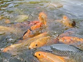 makanan-ikan-mas-alami.jpg