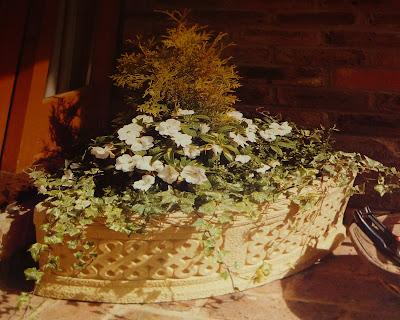 керамический ящик с плющем, хвойные растения