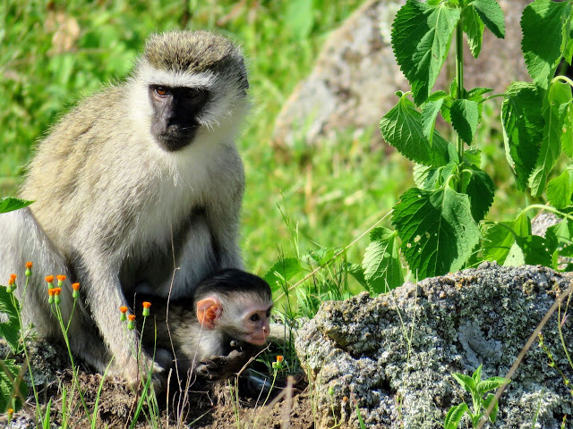 Vervet monkey and baby at Rwakobo Lodge in Uganda