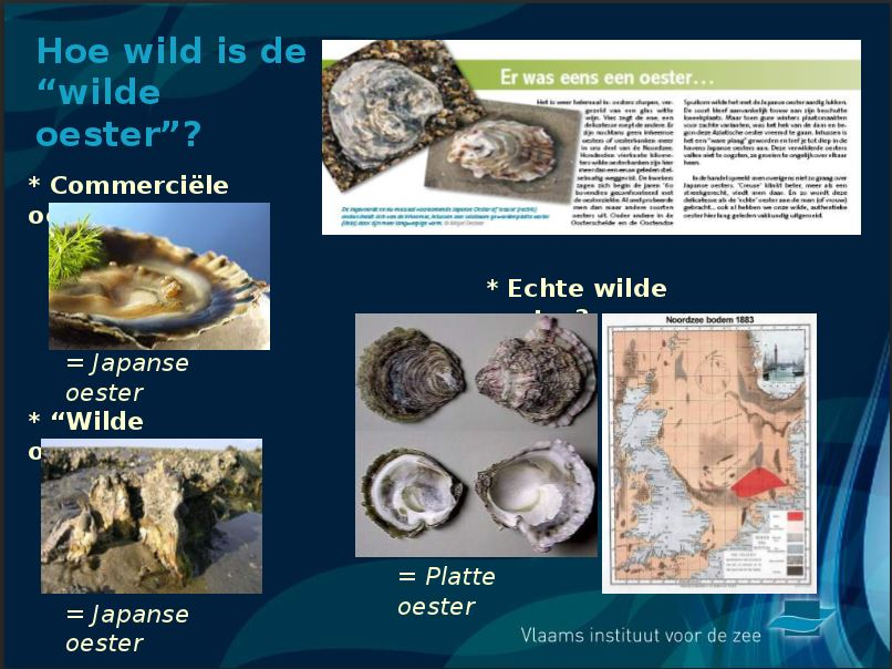 'huître creuse,Crassostrea gigas,  huître japonaise ,ostra, pacific oysters,Στρείδι Πορτογαλίας, Pazifische Auster