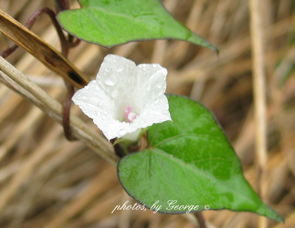Whats blooming now small white morning glory ipomoea lacunosa small white morning glory ipomoea lacunosa mightylinksfo