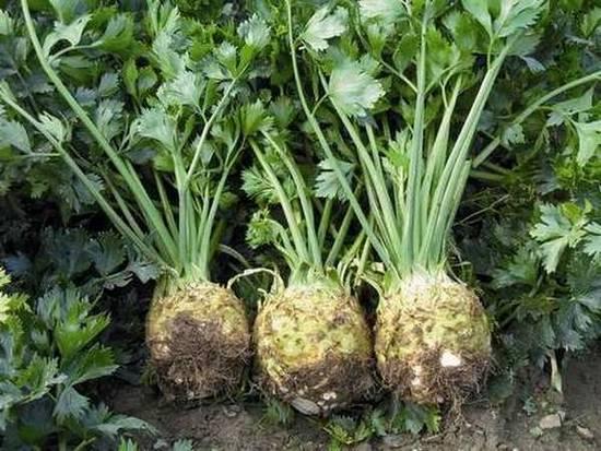 Légume diurétique : quel sont les vertus du céleri ?