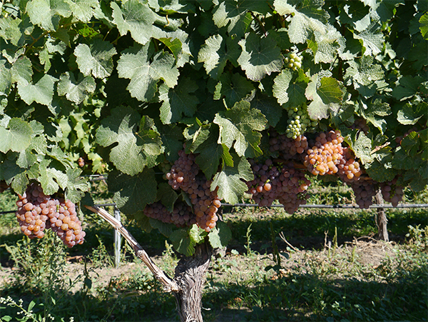 Grapes on the vine at JoieFarm Winery in Naramata Bench, Okanagan, BC wine country