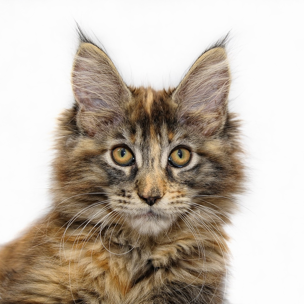 Maine Coon History | Maine Coon Kittens