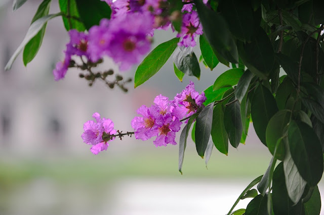 Purple Lagerstroemia flowers bloom to welcome summer season in Hanoi 1