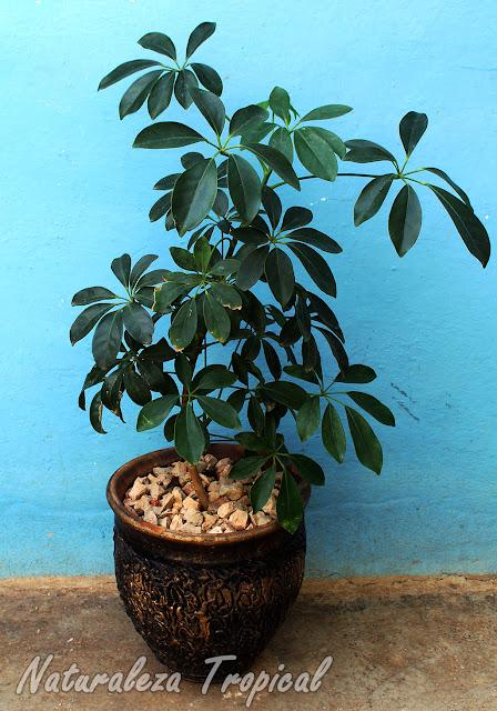Schefflera arboricola en maceta