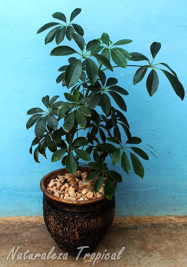 Cheflera arboricola en maceta
