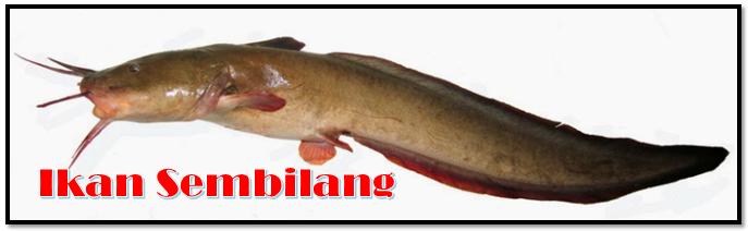 Jenis Jenis Ikan Catfish Populer Di Indonesia Aliems Journey