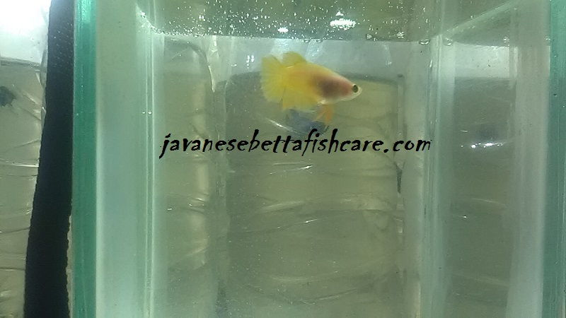 Female betta fish colors yellow