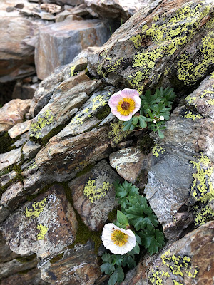 [Ranunculaceae] Ranunculus glacialis – Glacier Buttercup (Ranunculo delle nevi)