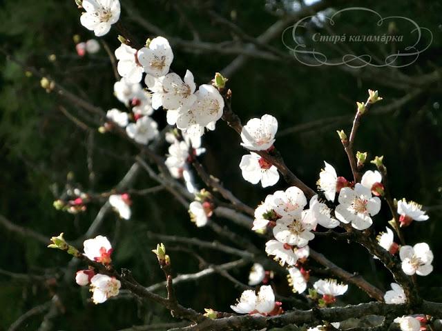 абрикос, как цветет абрикос, цветущий сад, хюгге