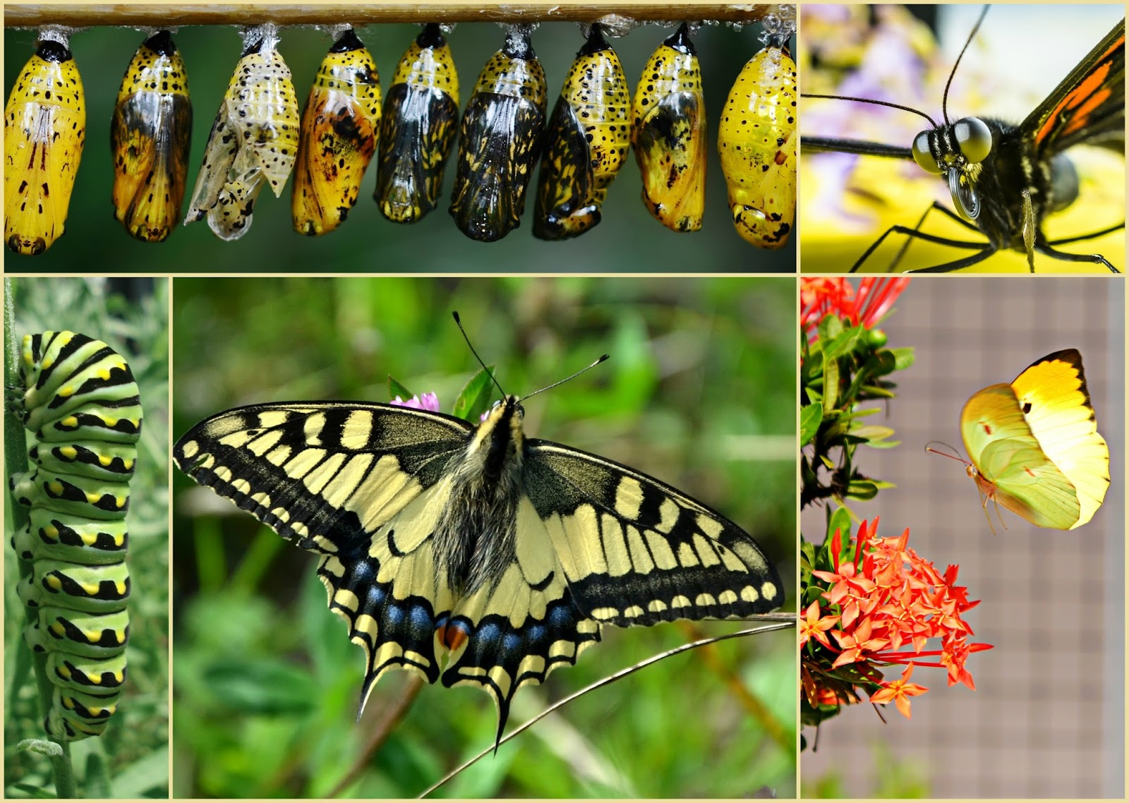 Picture of butterfly metamorphosis.