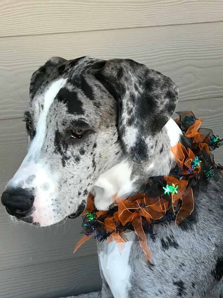 Merle Great Danes A 7th Show Color Great Dane Puppies