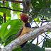 Pica-pau-do-parnaíba, um conhecido do Cerrado na Amazônia brasileira
