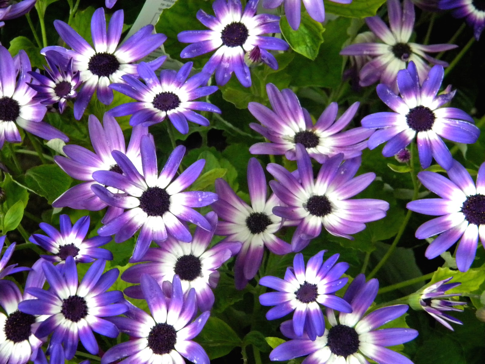 Blue Daisy Violet Daisies spring flowers
