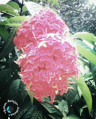 tanaman asoka