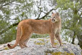 Puma Puma concolor