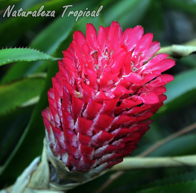 Floración de una especie del género Bromelia, Piñita Roja