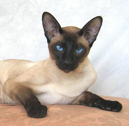 Found Siamese Cat Uk