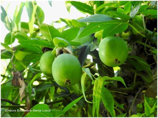 Frutos del mburucuyá - Chacra Educativa Santa Lucía