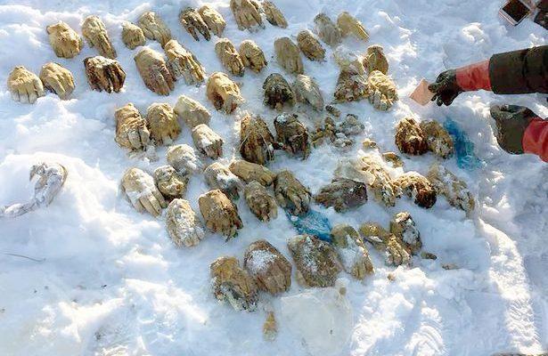 Dấu chỉ ở Nga: 54 bàn tay người bị chặt đứt lìa gần biên giới Trung Quốc
