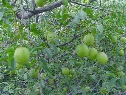 #Imbu ou Umbu, Fruta Típica do Nordeste