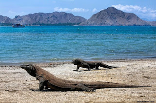 Komodo Island (Komodo National Park) : Home of The Dragon
