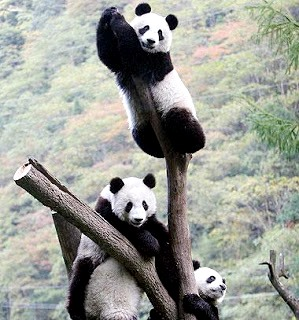 Foto de osos panda trepados en una rama seca