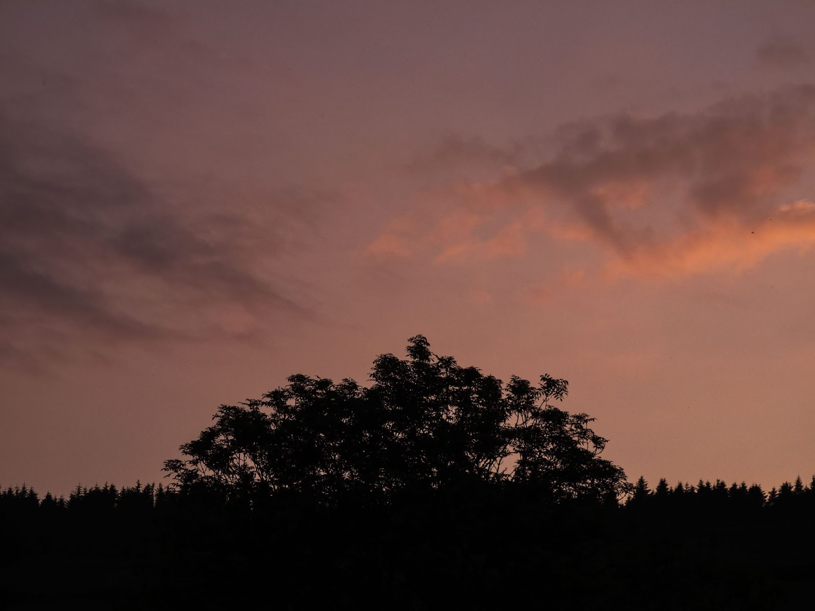 An Ash tree towering over a conifer forest at sunset.